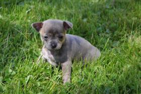 Foto 2 Chihuahua Welpe kurzhaar mit Ahnentafel