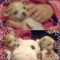 Foto 2 Chihuahua-Welpe weiblich 8 wochen