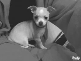 Foto 6 Chihuahua-Welpe weiblich 8 wochen