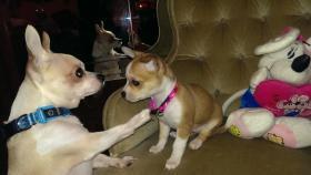 Foto 7 Chihuahua-Welpe weiblich 8 wochen