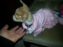 Foto 8 Chihuahua-Welpe weiblich 8 wochen