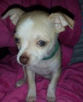 Foto 10 Chihuahua-Welpe weiblich 8 wochen