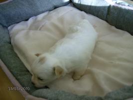 Foto 2 Chihuahua-Welpe, LH, Hündin, geb.9.8.10