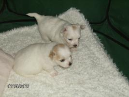 Foto 3 Chihuahua-Welpe, LH, Hündin, geb.9.8.10