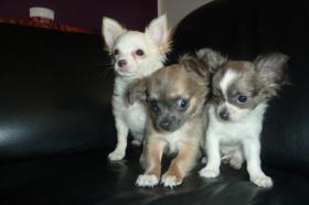 Chihuahua-Welpen