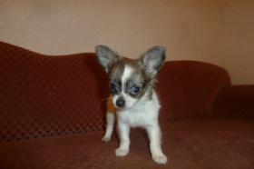 Foto 3 Chihuahua-Welpen