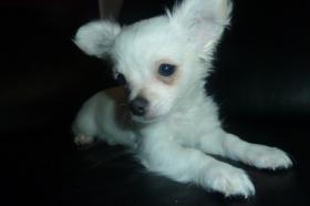 Foto 4 Chihuahua-Welpen