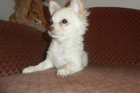 Foto 6 Chihuahua-Welpen
