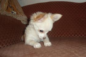 Foto 7 Chihuahua-Welpen