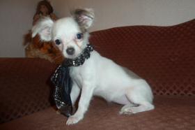 Foto 9 Chihuahua-Welpen