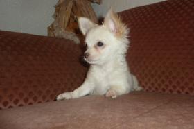 Foto 11 Chihuahua-Welpen
