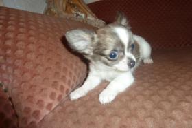 Foto 12 Chihuahua-Welpen