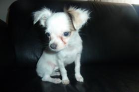 Foto 14 Chihuahua-Welpen