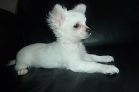 Foto 16 Chihuahua-Welpen