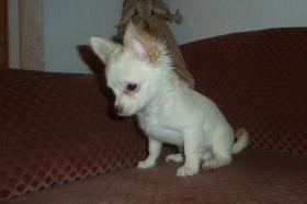 Foto 18 Chihuahua-Welpen
