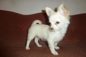 Foto 20 Chihuahua-Welpen