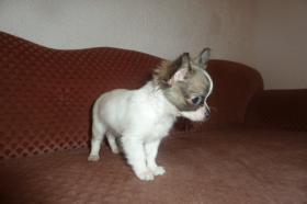 Foto 21 Chihuahua-Welpen