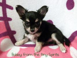 Foto 3 Chihuahua Welpen
