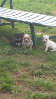 Foto 8 Chihuahua Welpen