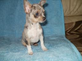 Chihuahua Welpen 2 Hündinen