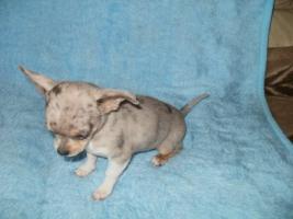 Foto 3 Chihuahua Welpen 2 Hündinen