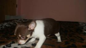 Foto 2 Chihuahua Welpen in 3 Farben