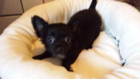 Foto 3 Chihuahua Welpen Blau