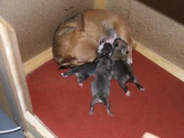 Foto 2 Chihuahua Welpen aus FCI-ÖKV-Zucht