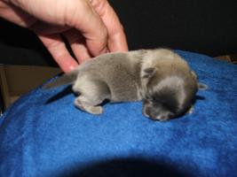 Foto 4 Chihuahua Welpen aus FCI-ÖKV-Zucht