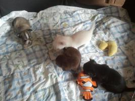 Chihuahua Welpen aus Hobby Zucht