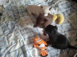 Foto 2 Chihuahua Welpen aus Hobby Zucht