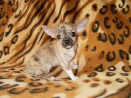 Foto 3 Chihuahua Welpen Hündin und Rüde