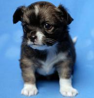 Chihuahua-Welpen in Lang u. Kurzhaar ! ( VDH/FCI )