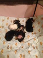 Foto 2 Chihuahua Welpen Langhaar !!!