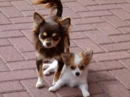 Foto 2 Chihuahua Welpen Langhaar
