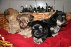 Chihuahua Welpen Langhaar Rüden wurf 19.09.11