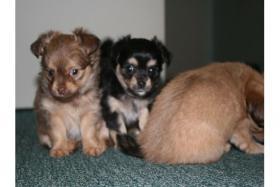 Foto 2 Chihuahua Welpen Langhaar R�den wurf 19.09.11