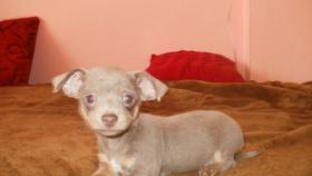 Chihuahua Welpen Lila und Blau, Rüden