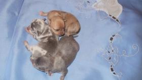 Foto 5 Chihuahua Welpen Lila und Blau, Rüden
