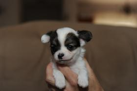 Chihuahua Welpen zum Verkauf in Champion