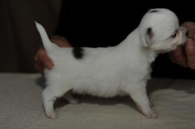 Foto 4 Chihuahua Welpen zum Verkauf in Champion