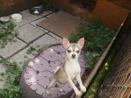 Foto 2 Chihuahua Welpen zu Verkaufen
