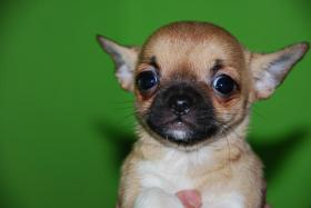 Foto 2 Chihuahua Welpen abzugeben