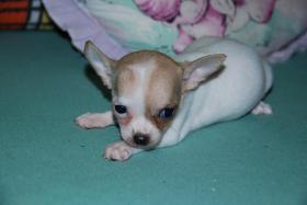 Foto 3 Chihuahua Welpen abzugeben