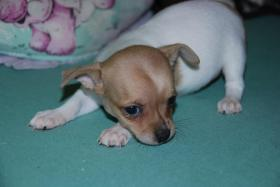 Foto 5 Chihuahua Welpen abzugeben