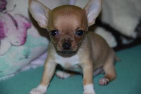 Foto 7 Chihuahua Welpen abzugeben