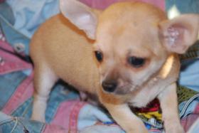Foto 8 Chihuahua Welpen abzugeben