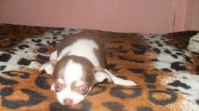 Chihuahua Welpen in attraktive Farben