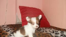 Foto 3 Chihuahua Welpen in attraktive Farben