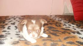 Foto 5 Chihuahua Welpen in attraktive Farben